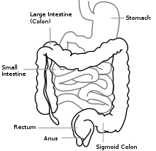 Picture of small and large intestine (colon)